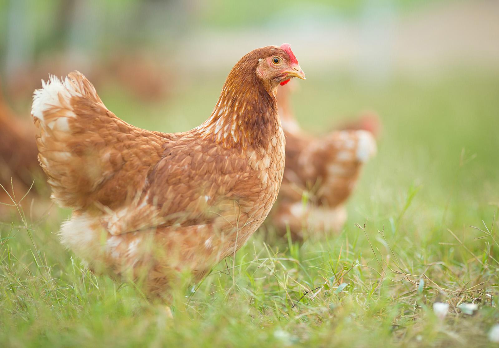 Les poules font partie de l'imaginaire des enfants en bas-âge, on les […]